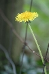 Dandelion, Canada Stock Photos