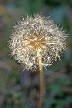Dandelion Seeds, Canada Stock Photos